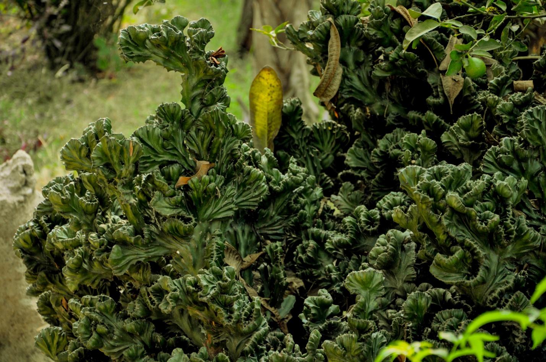 Кустарник с закрученными листьями