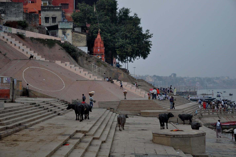 коровы на набережной в городе Варанаси, Индия
