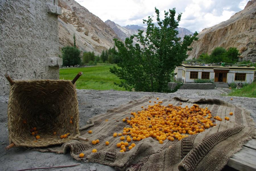 Местные абрикосы в Гималаях, Индия