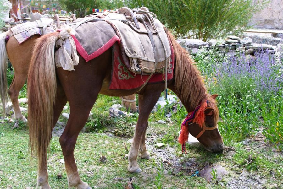 Лошади в Гималаях, Индия