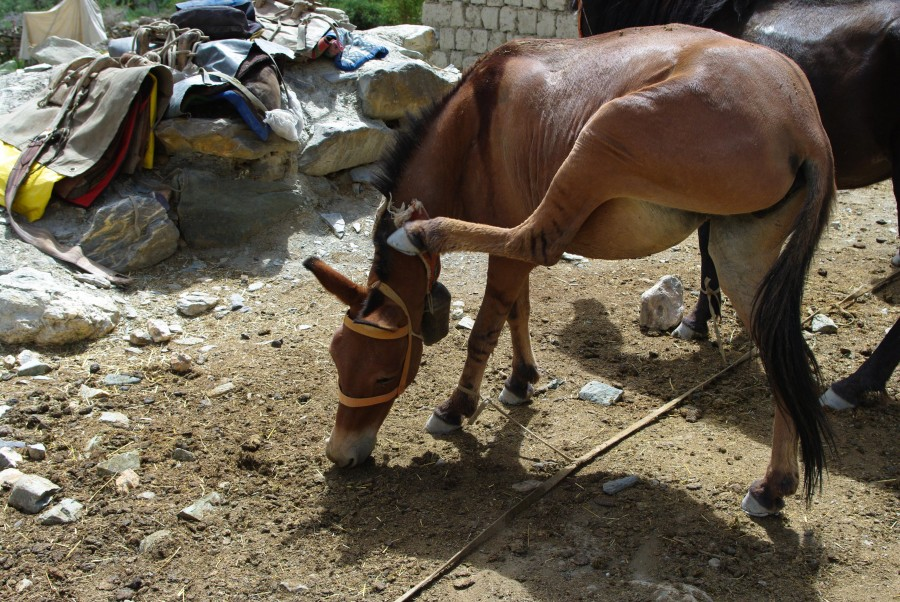 Лошадь в Гималаях, Индия