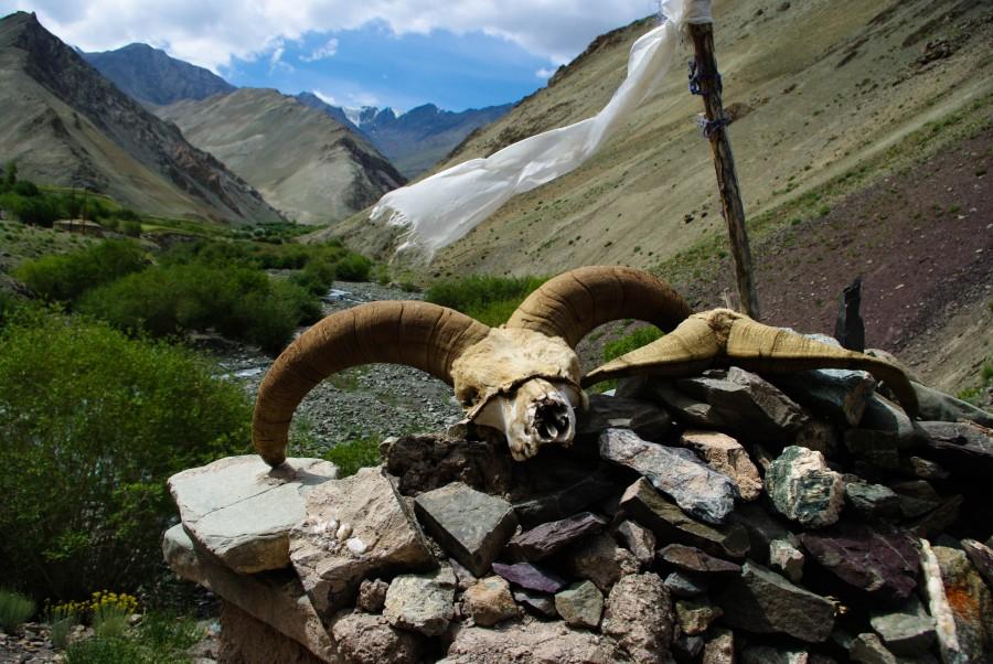 Череп горного козла в Ладакхе
