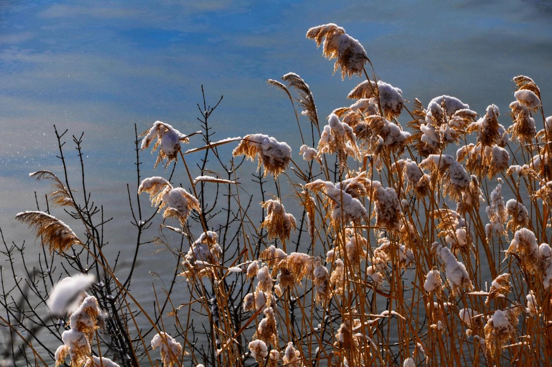 Камыши в снегу