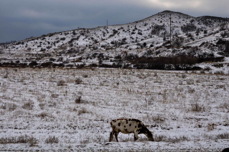 Корова и зимний пейзаж в Крыму