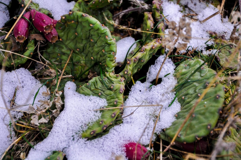 Кактусы в снегу