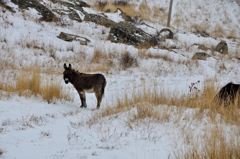 Ослик пасется на снегу, Крым