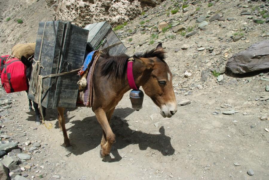 Маленькие выносливые лошади в горах
