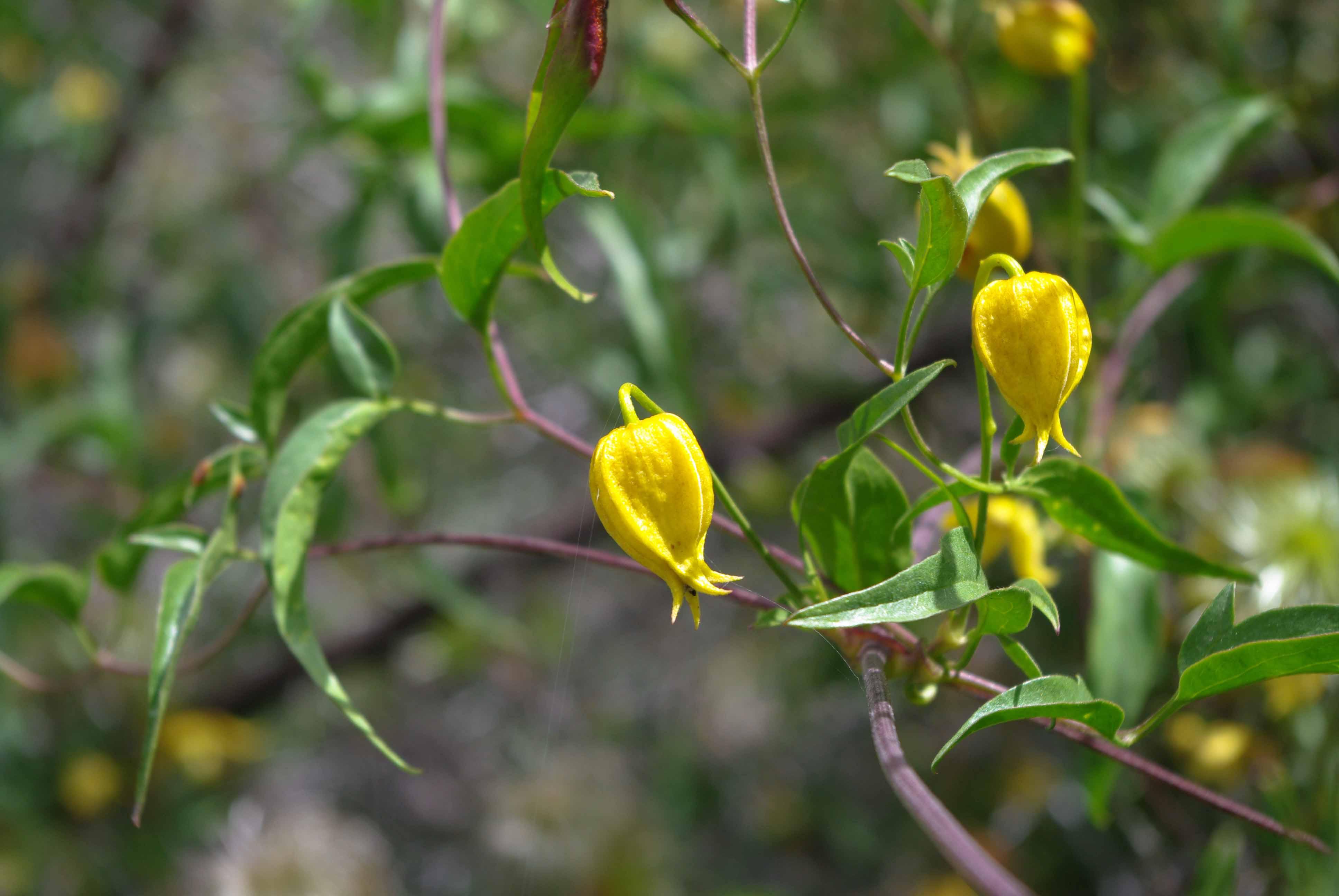 Горные цветы в Гималаях