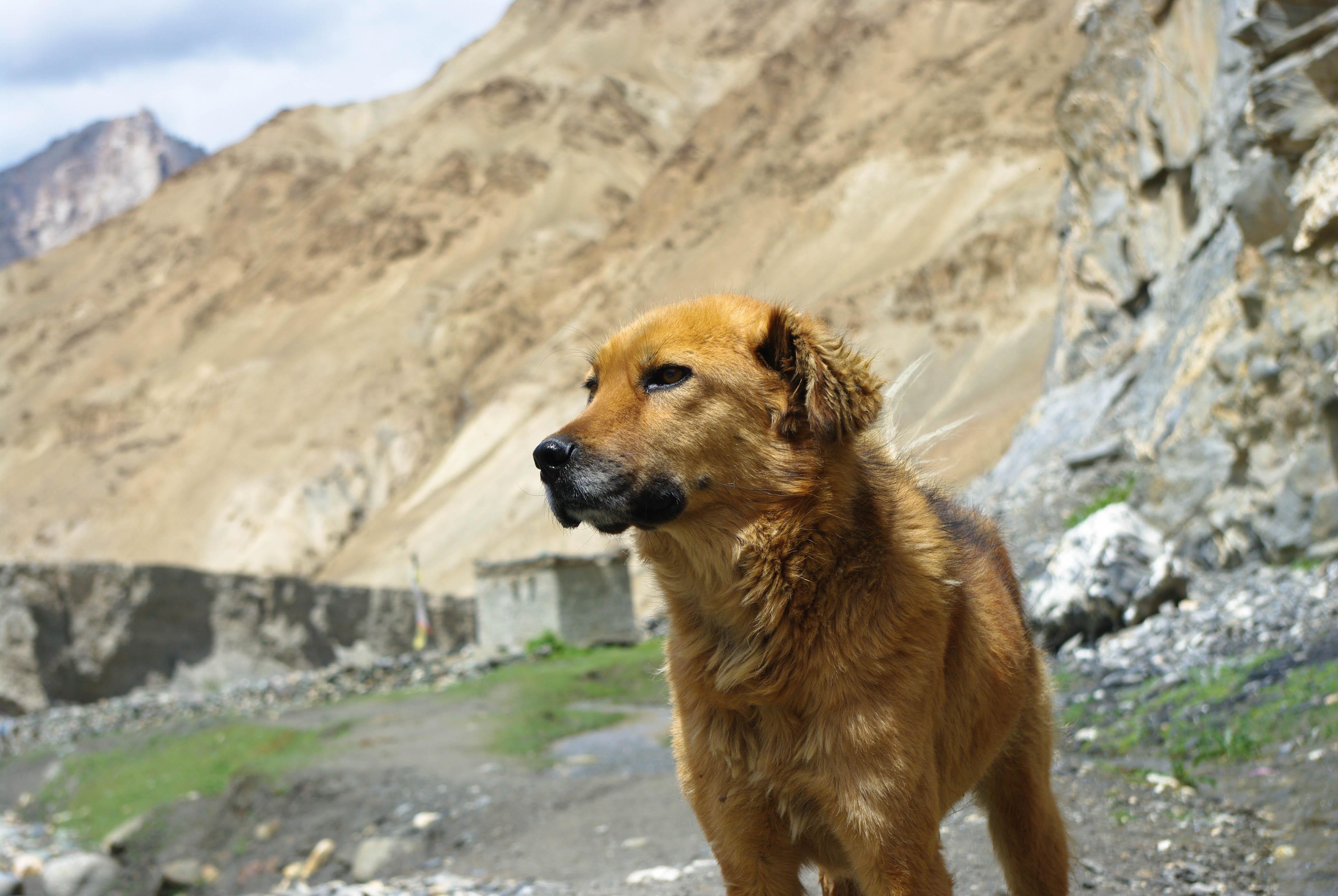 Собака в Гималаях