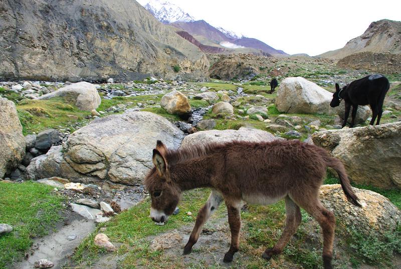 Ослики в горах Гималаи