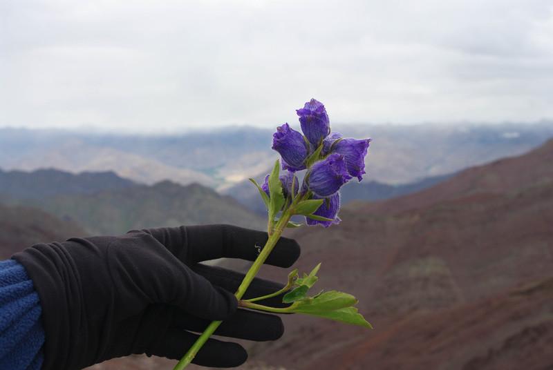 Цветы в Гималаях