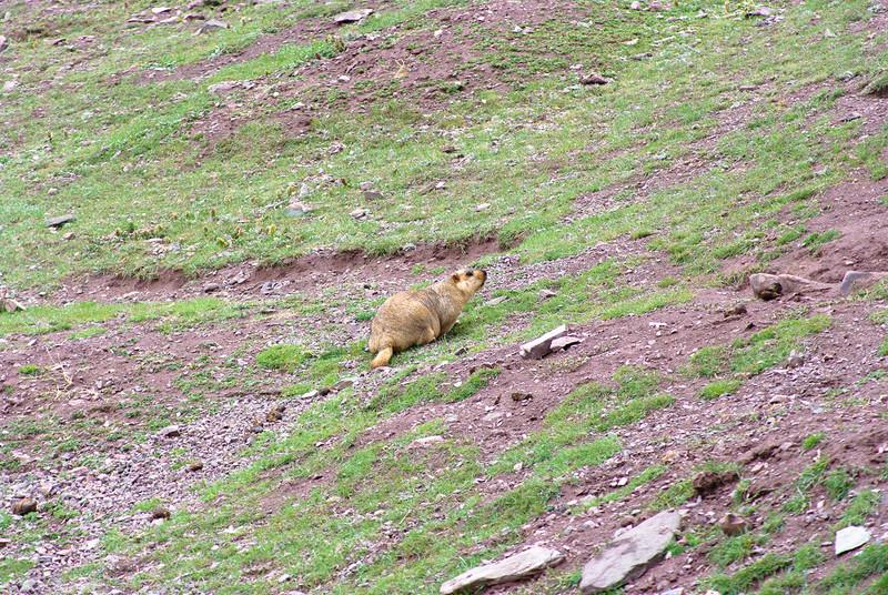 Милое животное на высоте 5000м в горах Гималаи
