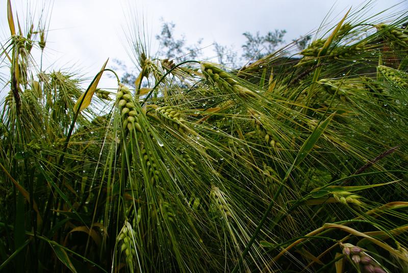 Зеленая пшеница в Гималаях