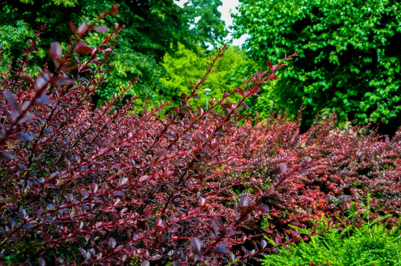 Интересное красное растение в парке в Будапеште