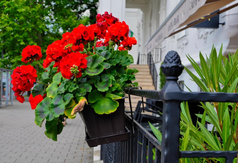 Герань в Будапеште