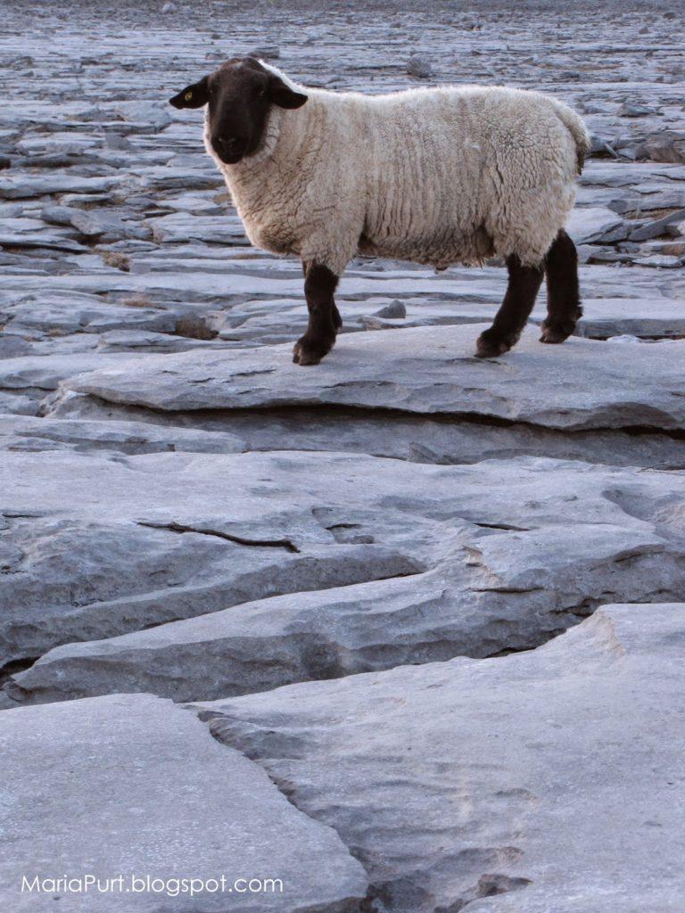 Овца на камнях, Ирландия