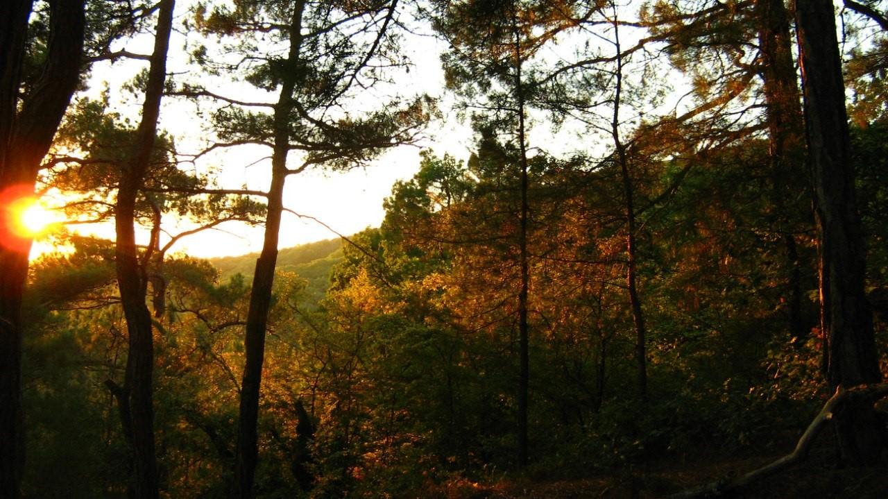 Сосновый лес в Краснодарском крае