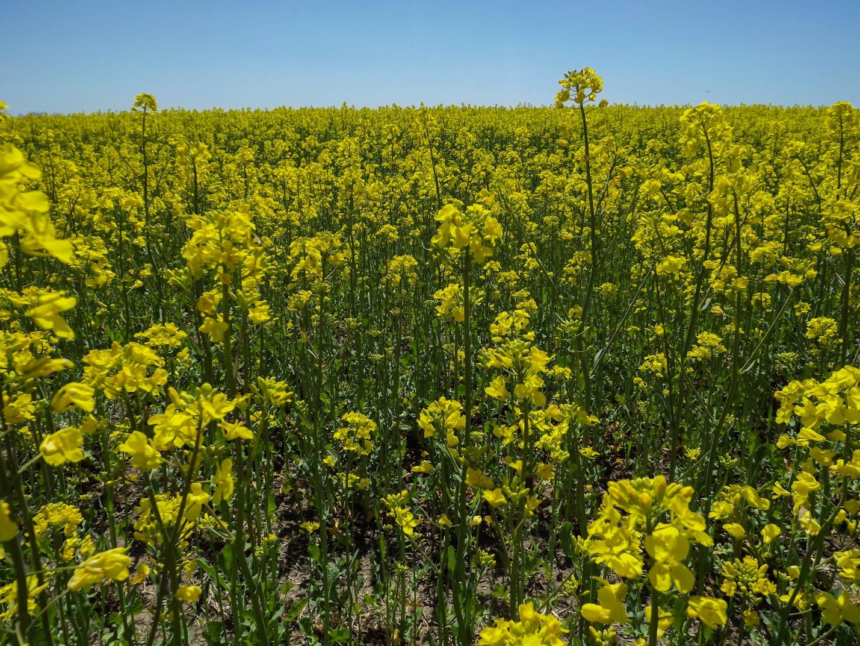 Цветение желтого поля в Ставропольском крае
