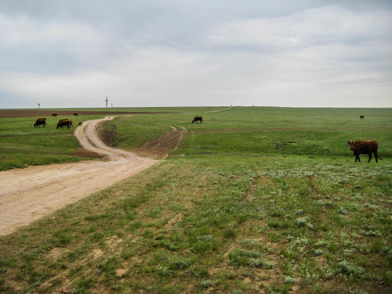 Коровы в Калмыцкой степи
