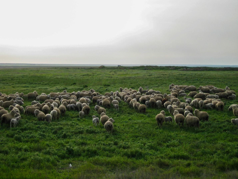 Овцы в степи Калмыкии