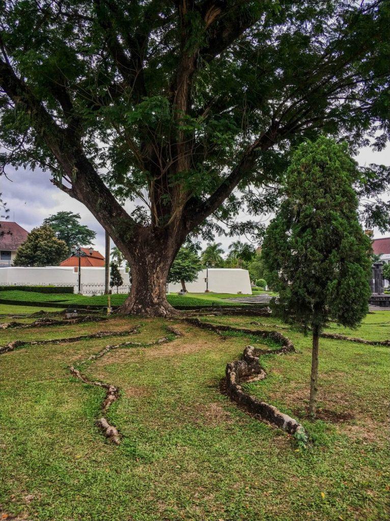 Старое дерево на улице в городе Джокьякарта, Ява