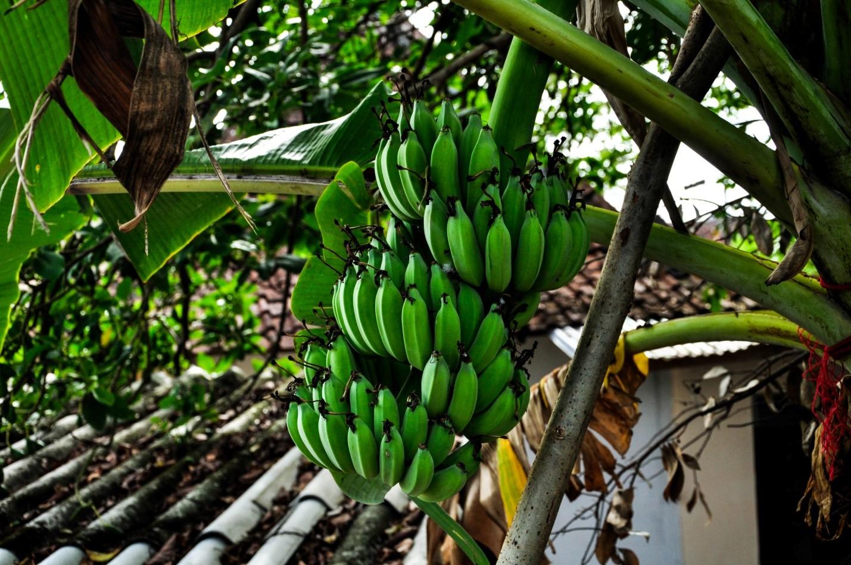 Зеленые бананы на улице острова Ява