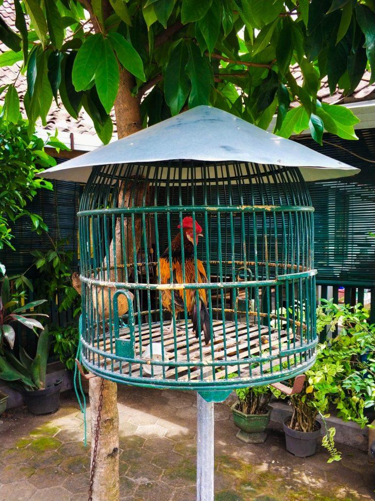 Петух в клетке на острове Ява, Индонезия