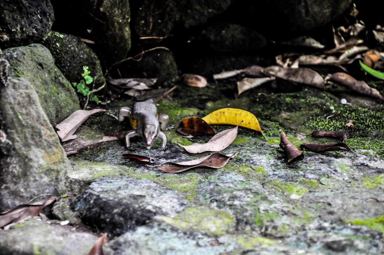 Ящерица охотится на таракана, Бали