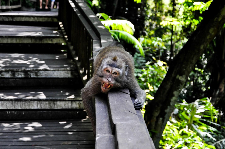 Злая обезьяна в Лесу обезьян, Бали