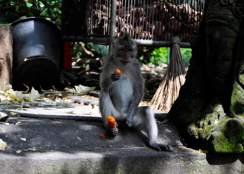 Обезьяна ест морковку в Лесу обезьян, Бали