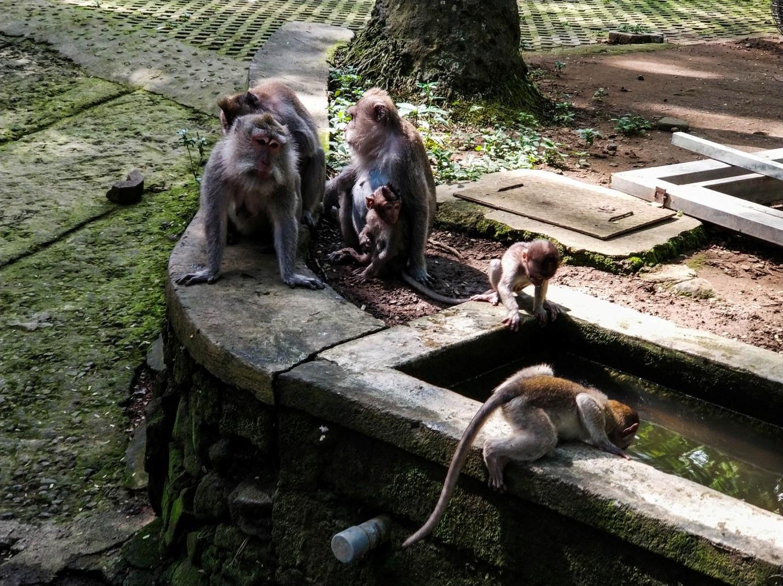 Обезьяны в Лесу обезьян, Бали