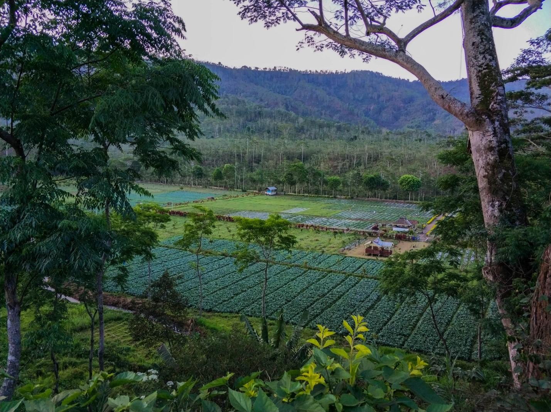 Поля капусты на острове Ява