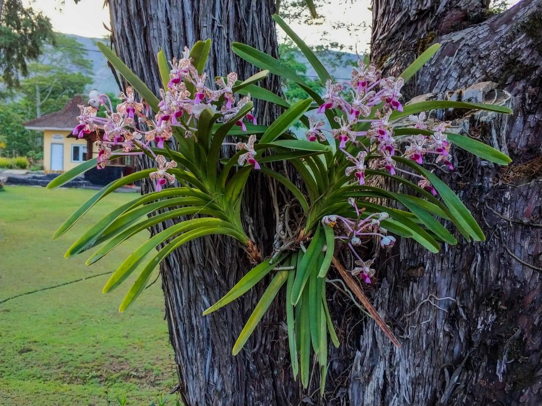Орхидея на острове Ява