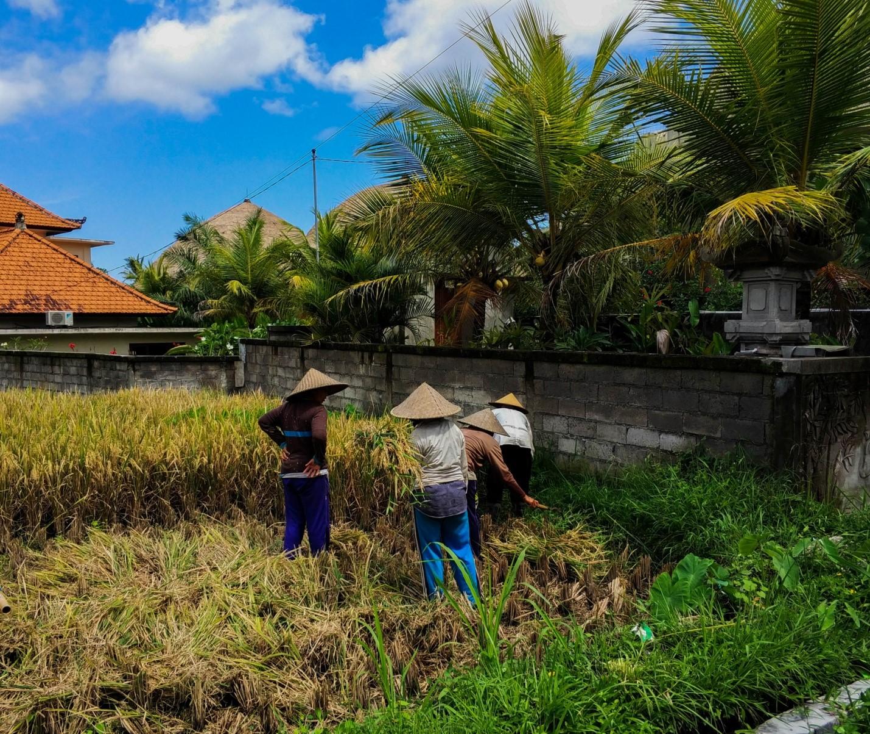 Местные жители Бали собирают урожай