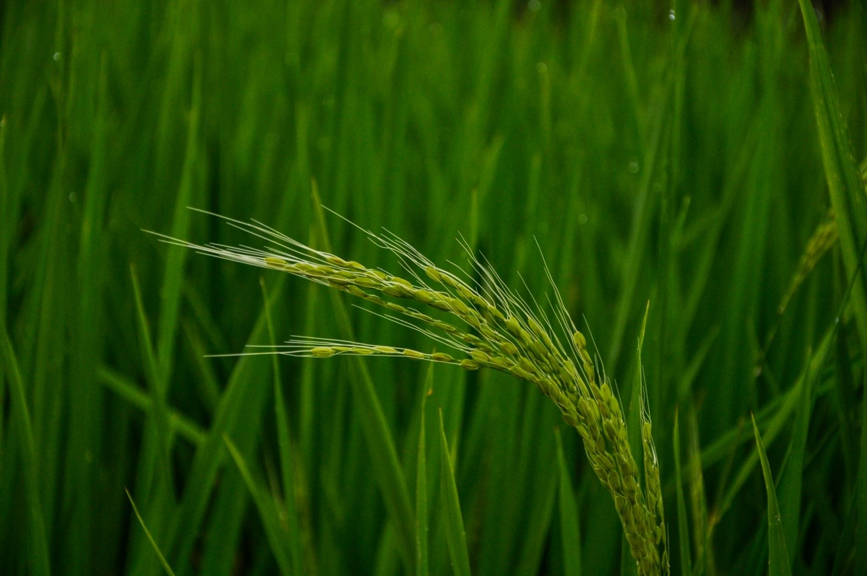 Рис на острове Бали