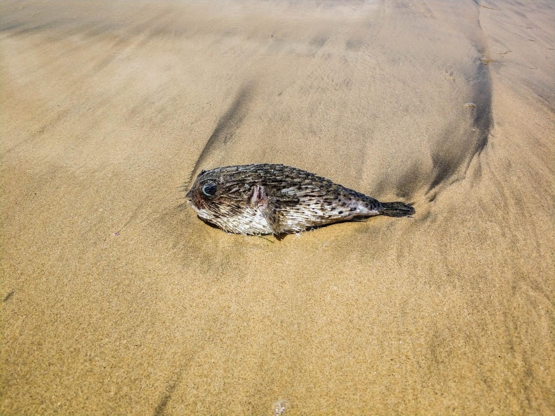 Рыба-ёж на пляже Бали
