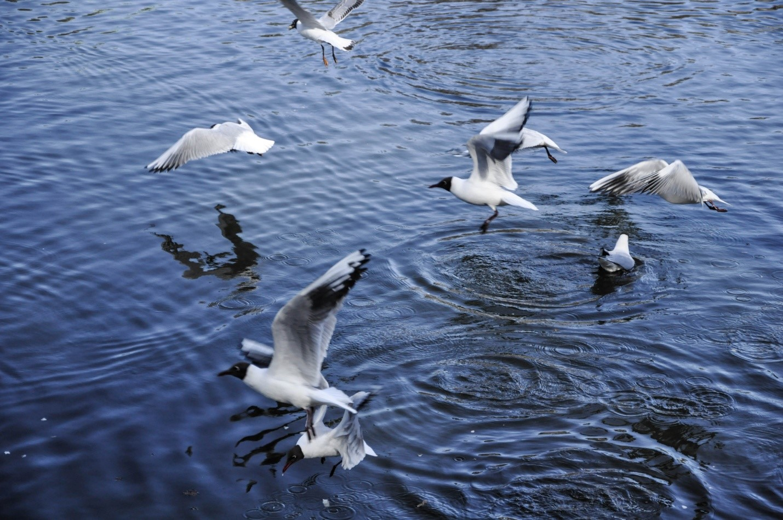 Чайки Питерские