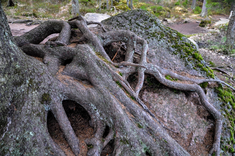 Корни дерева на камне