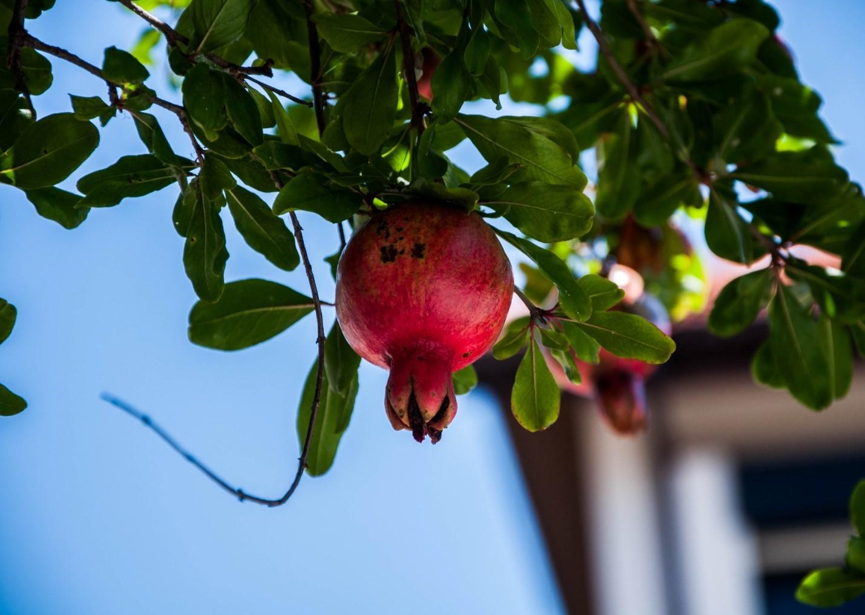 Гранат на дереве, Грузия