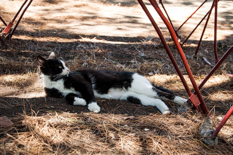 Грузинский кот