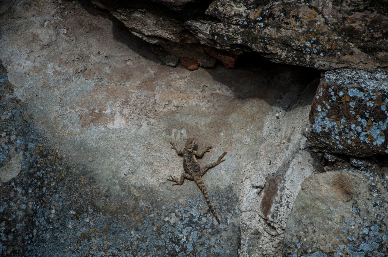 Большая ящерица в Грузии
