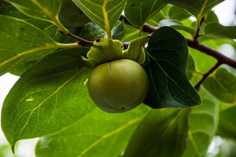 Зеленая хурма на дереве