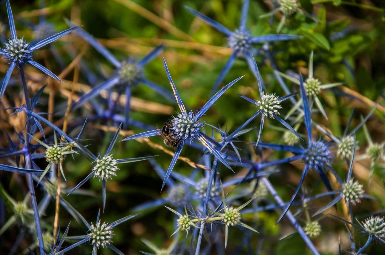 Природа Грузии, голубые колючки, Кахетия
