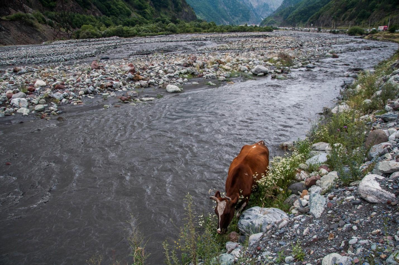 Корова на Военно-грузинской дороге